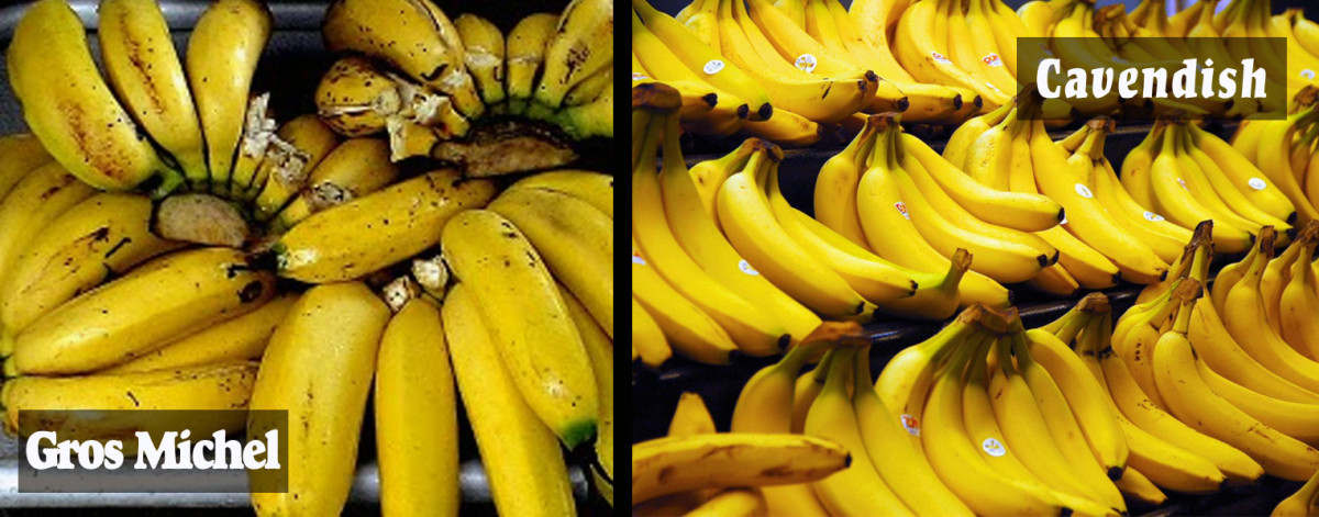 Over the years Gros Michel bananas have been replaced by the Cavendish variety.
