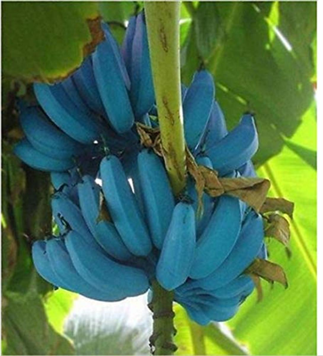 The banana of the future might be blue in color, which could once again provide a field day for songwriters and folksingers.