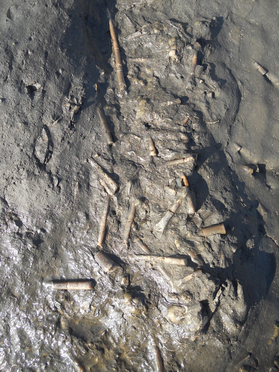 Belemnite fossils still embedded in the flat rocks on the beach at Seatown beach, Dorset