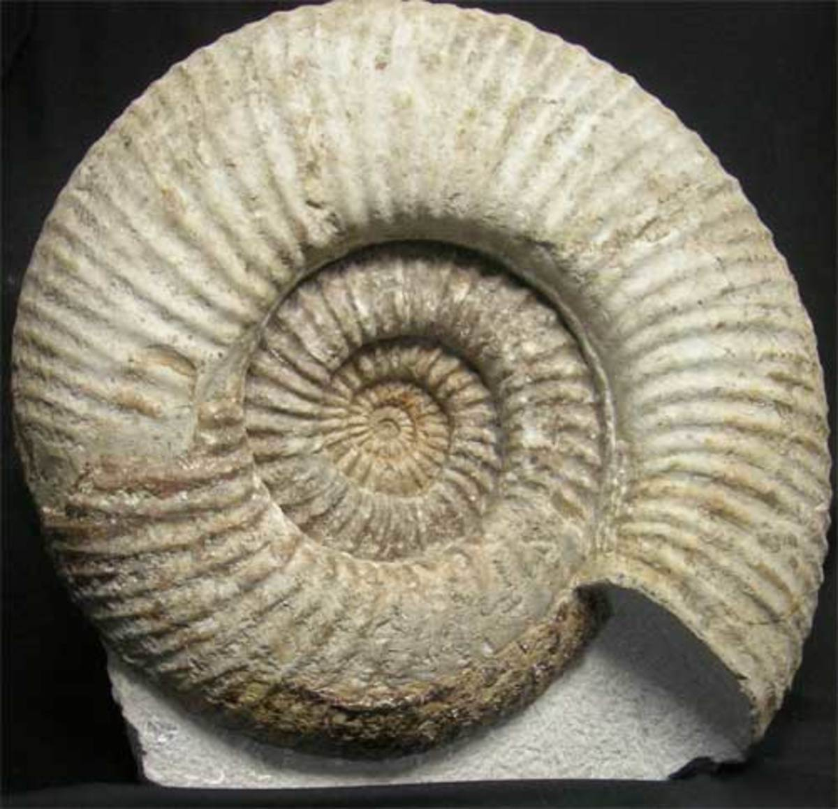 A large ammonite specimen from Portland