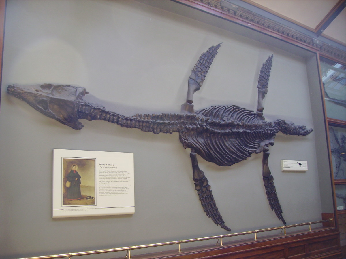 Mary Anning's famous plesiosaur fossil, in the Natural History Museum