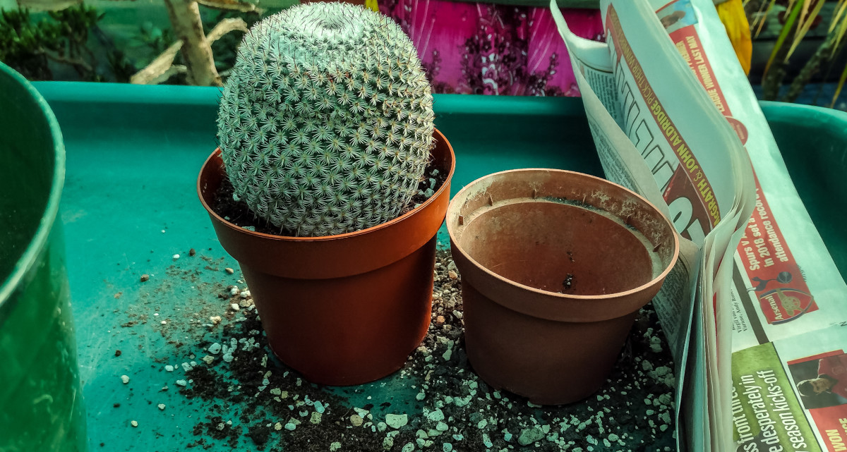 The replanted cactus in it's new, bigger pot.