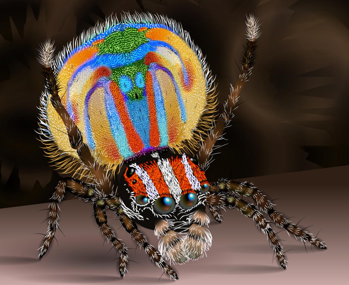 一只雄性孔雀蜘蛛在跳求偶舞。
