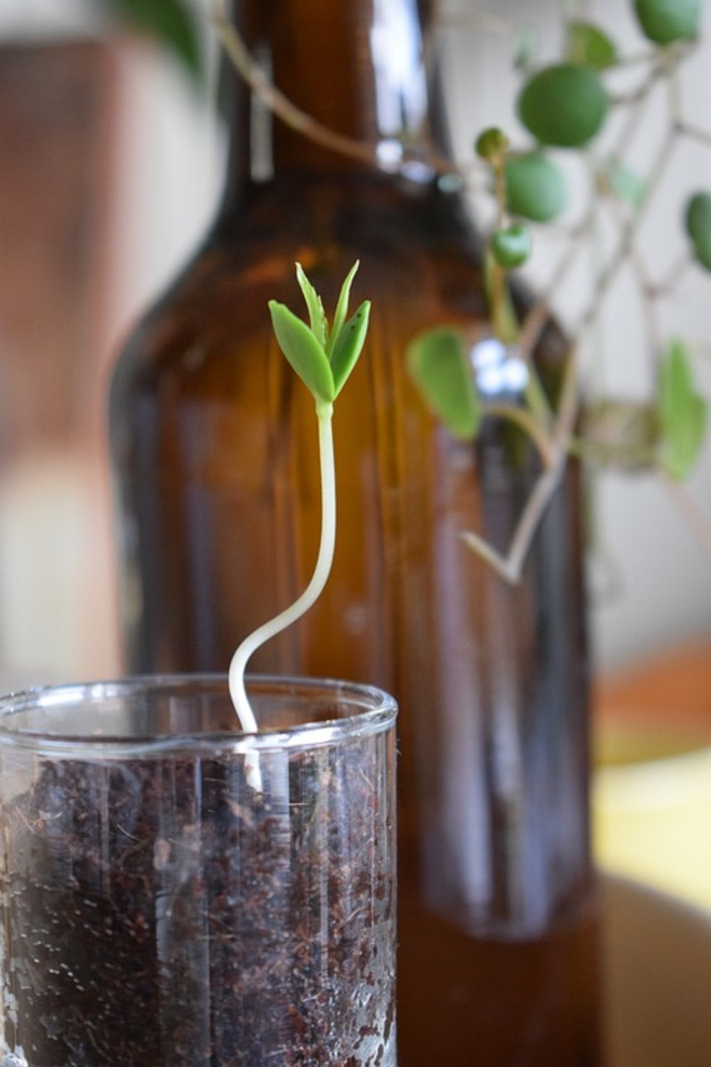 how-do-you-grow-apple-trees-from-seeds