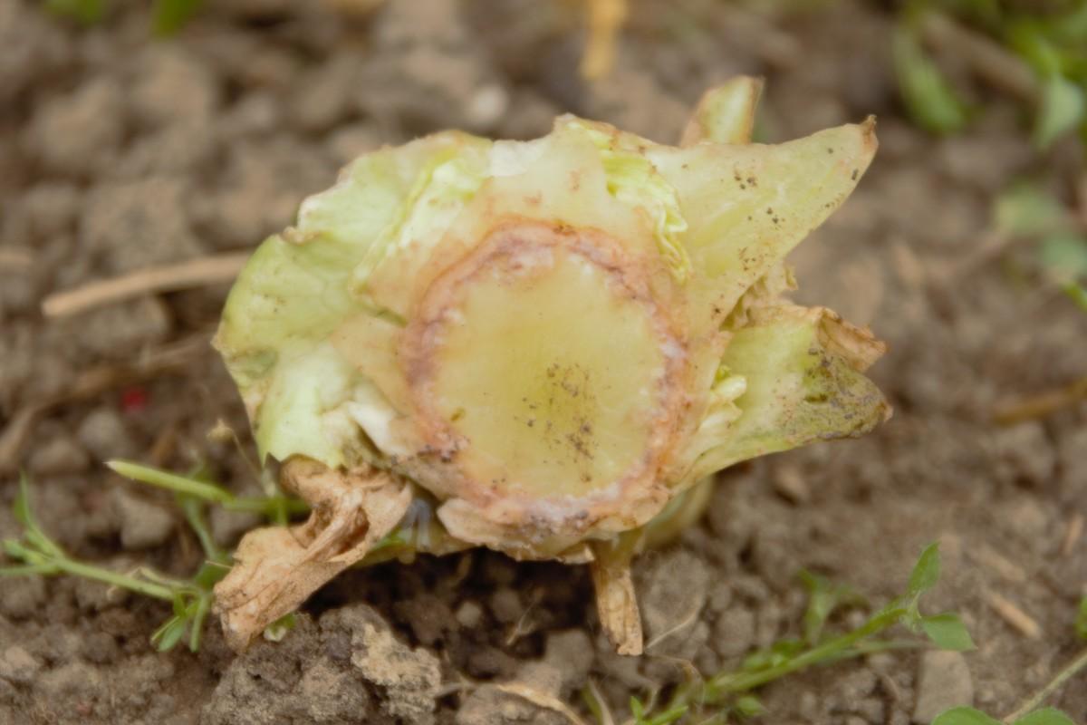 Lettuce scrap in soil