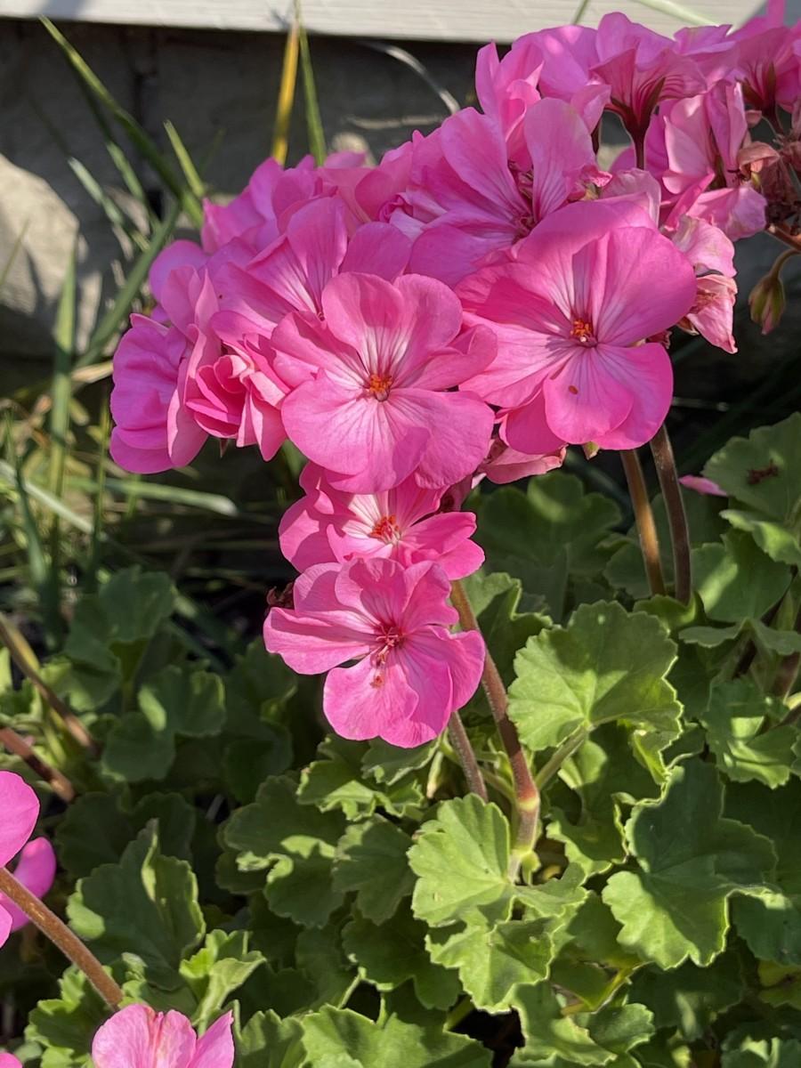 Pink tender geranium, which is not a true geranium.