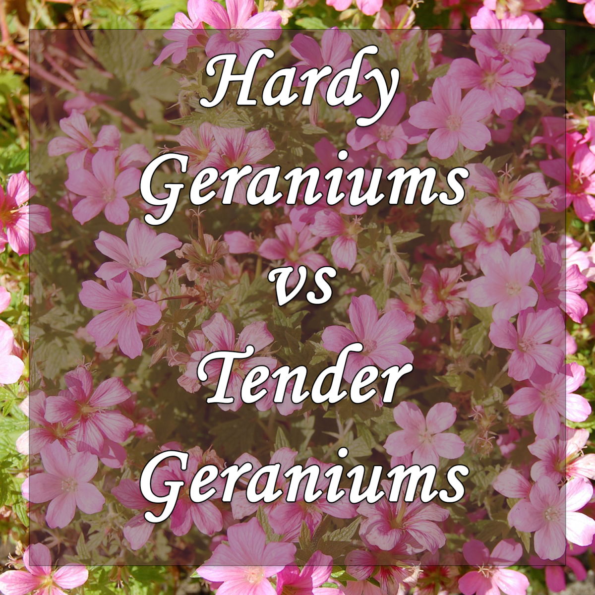 Hardy Geraniums vs Tender Geraniums: Which Should You Plant in Your Garden?