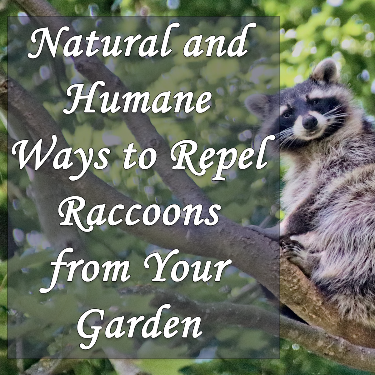 Natural and Humane Ways to Repel Raccoons From Your Garden