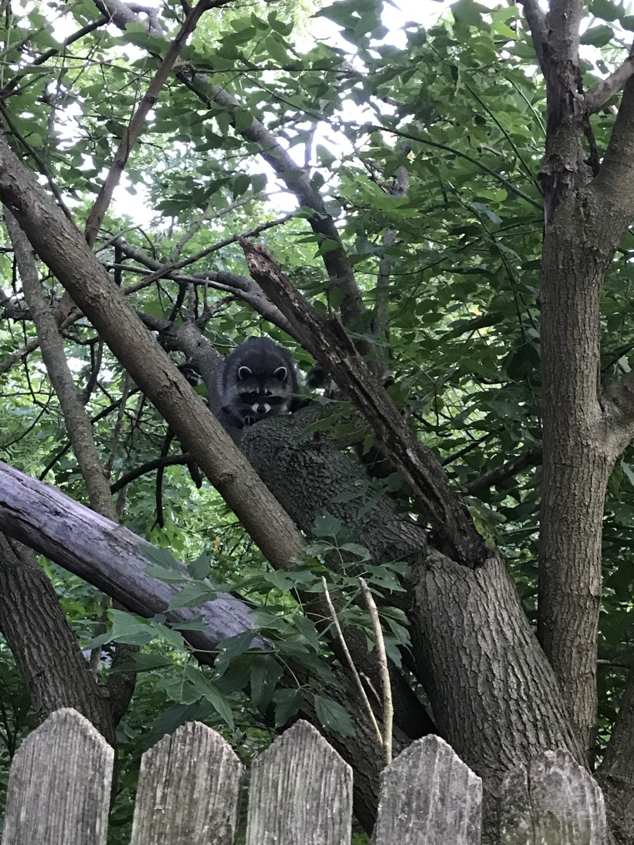 I think these raccoons live in the abandoned yard next door.