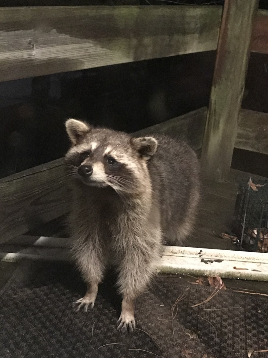 Trash pandas are jerks, but they're so cute, you can't hate them too much.