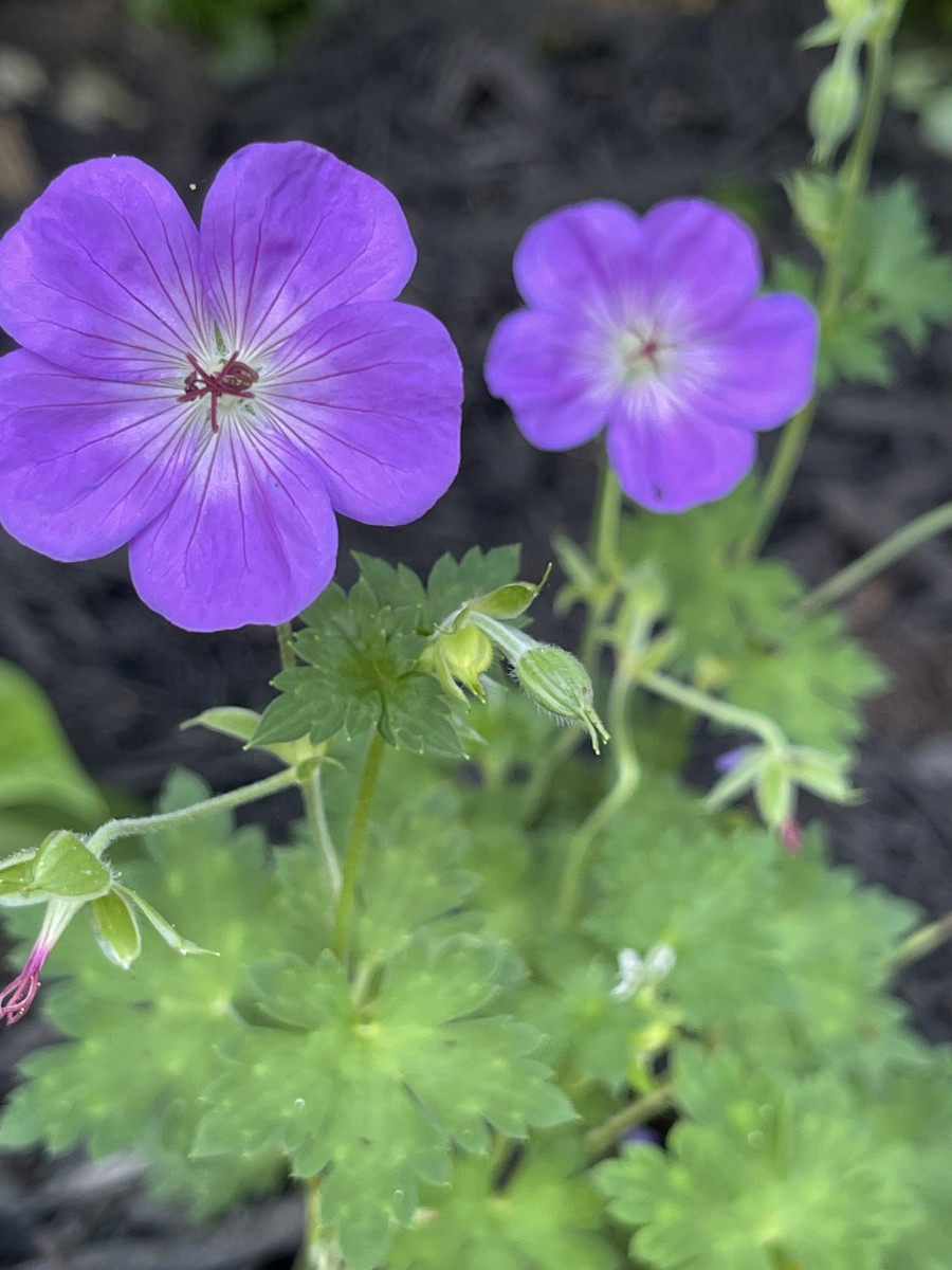 Raccoons seem to stay away from geraniums because they dislike their scent.