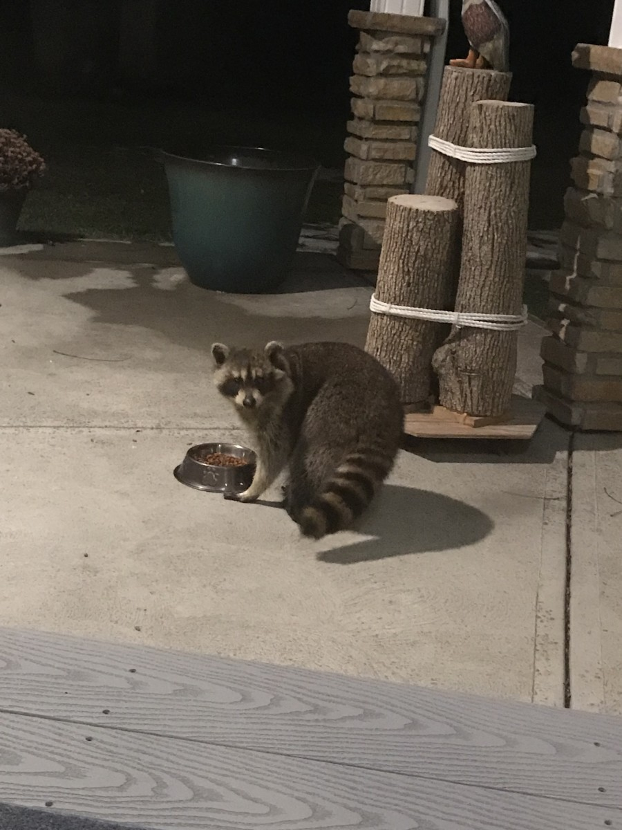 This raccoon was stealing cat food from my in-laws' patio.