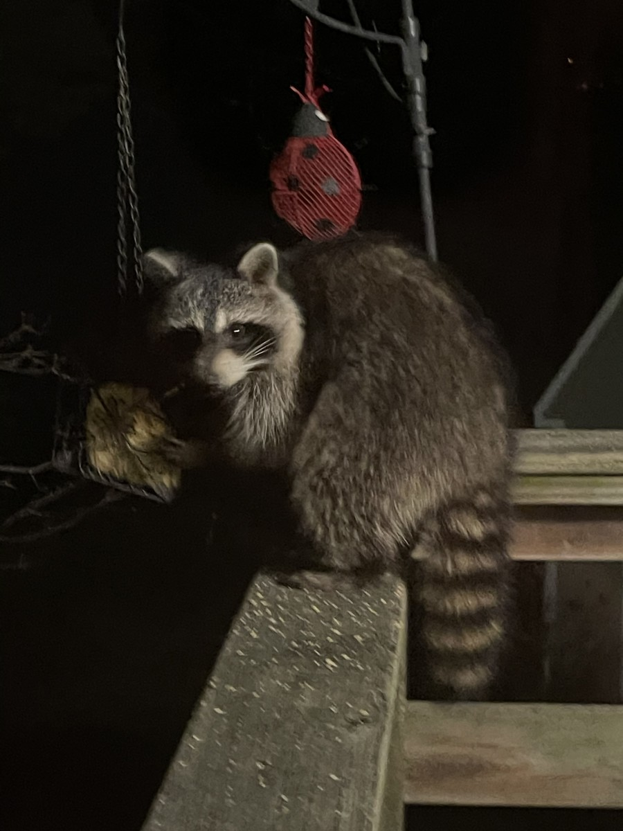 A raccoon stealing suet before I switched to hot pepper suet and adding crushed red pepper to the birdseed.