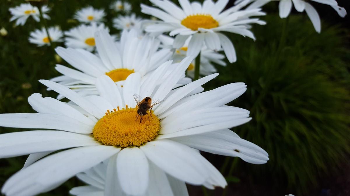 A Mason Bee pollinating a Shasta Daisy