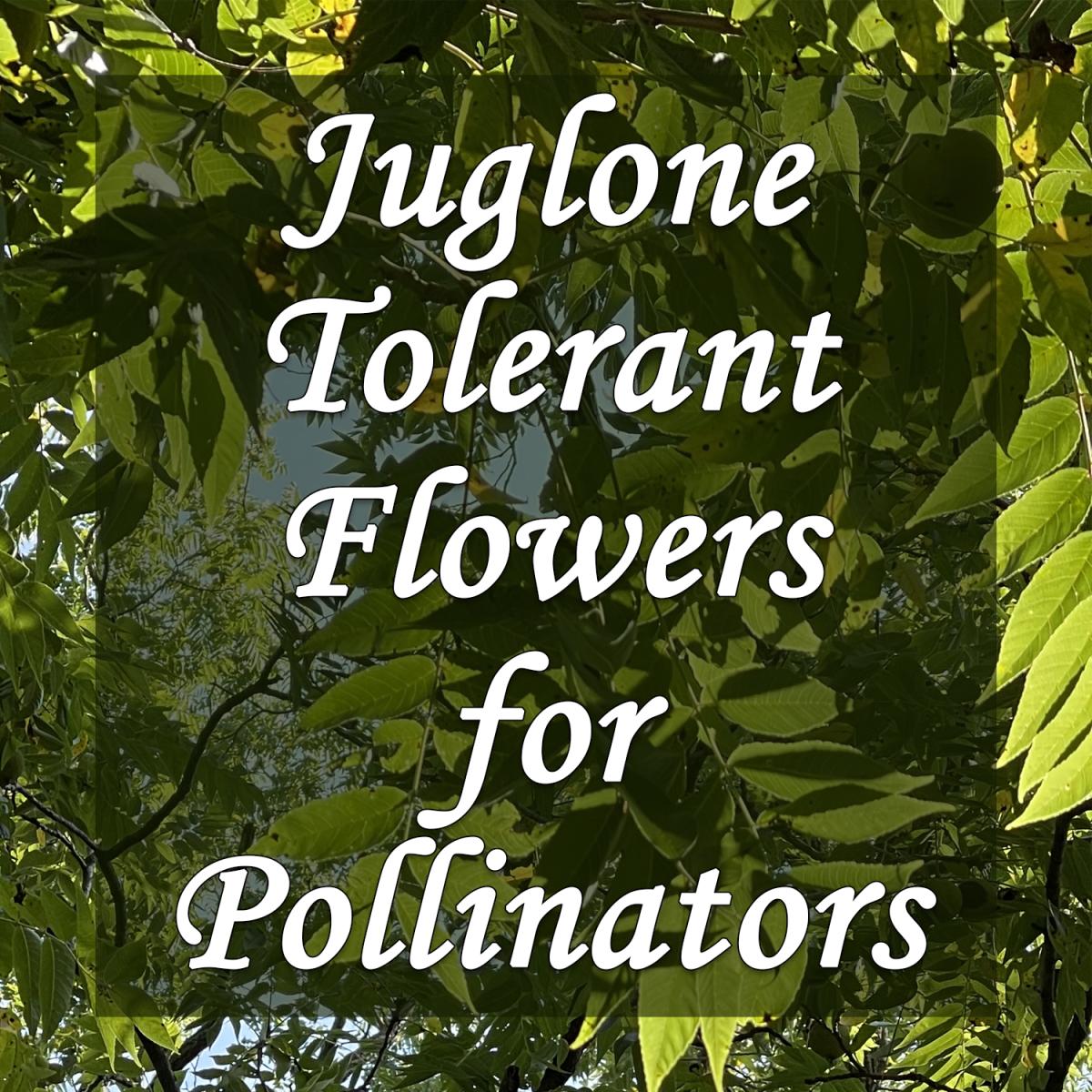 Juglone-Tolerant Flowers That Pollinators Love