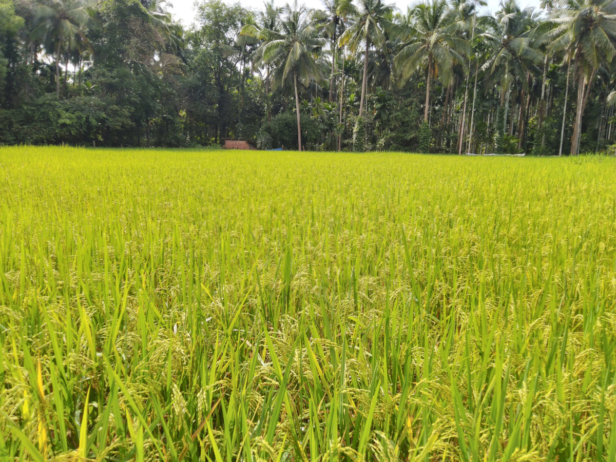A natural paddy farming