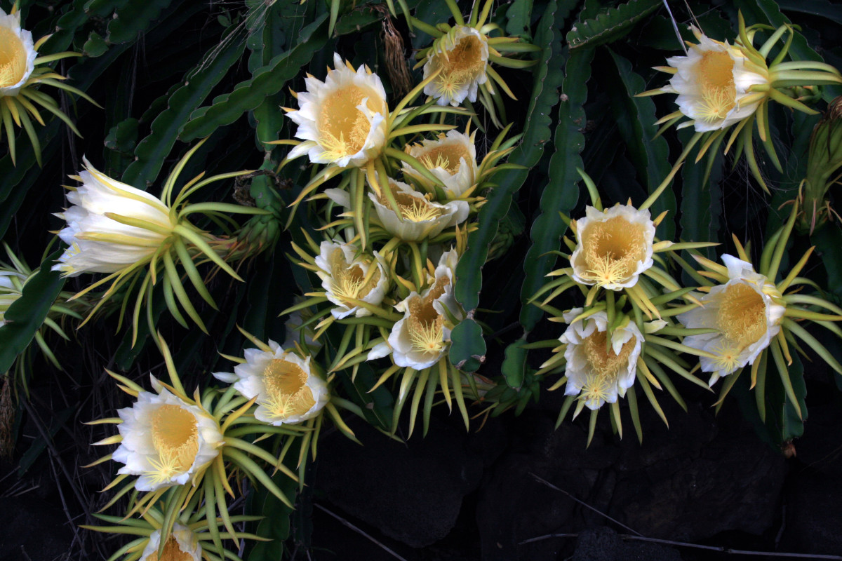 the  large blooms of Hylocereus undatus (white fleshed pitahaya fruit) only come out at night and are usually wilted by morning.