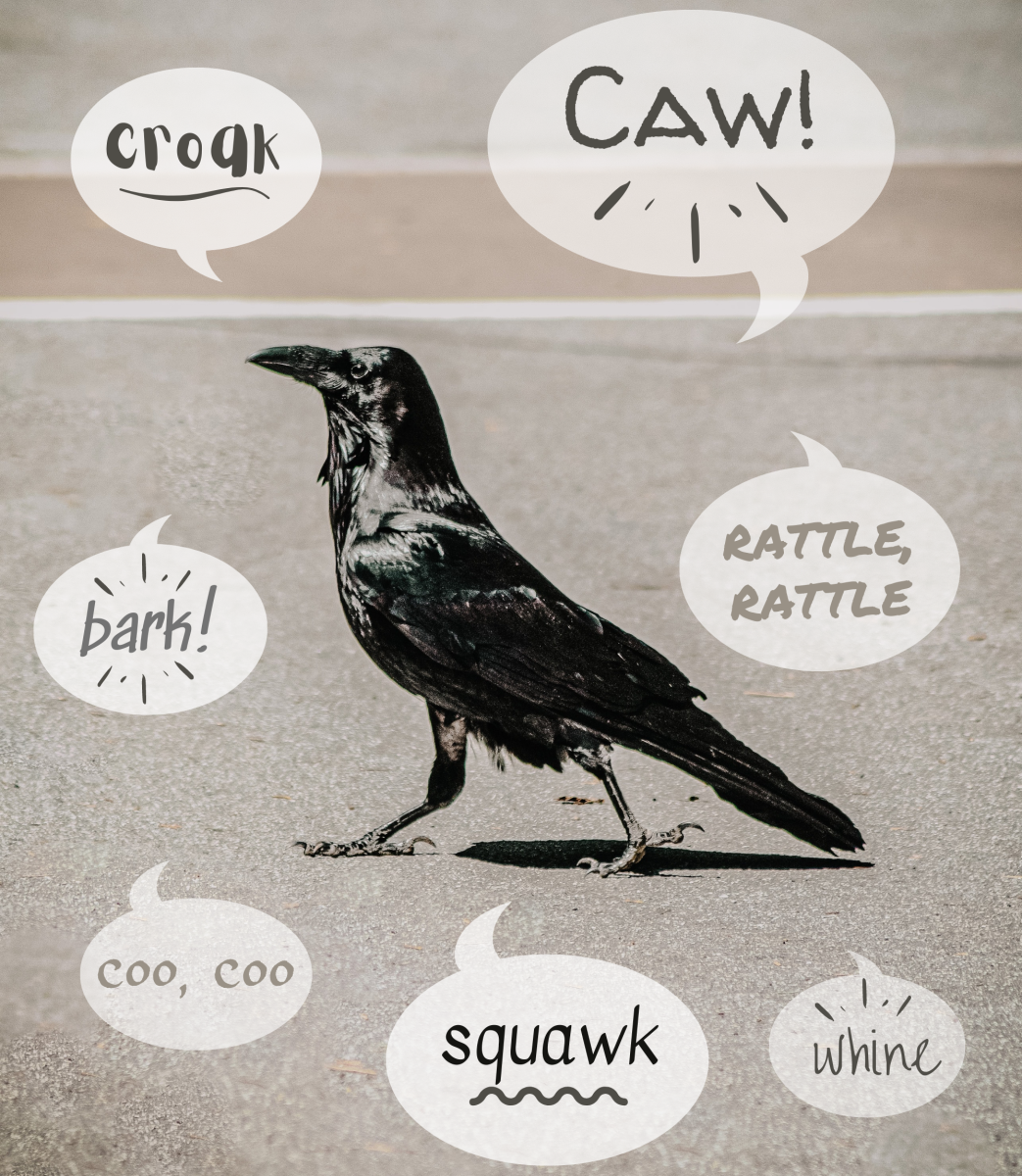 As songbirds, crows have a wide vocabulary and make many kinds of noises.