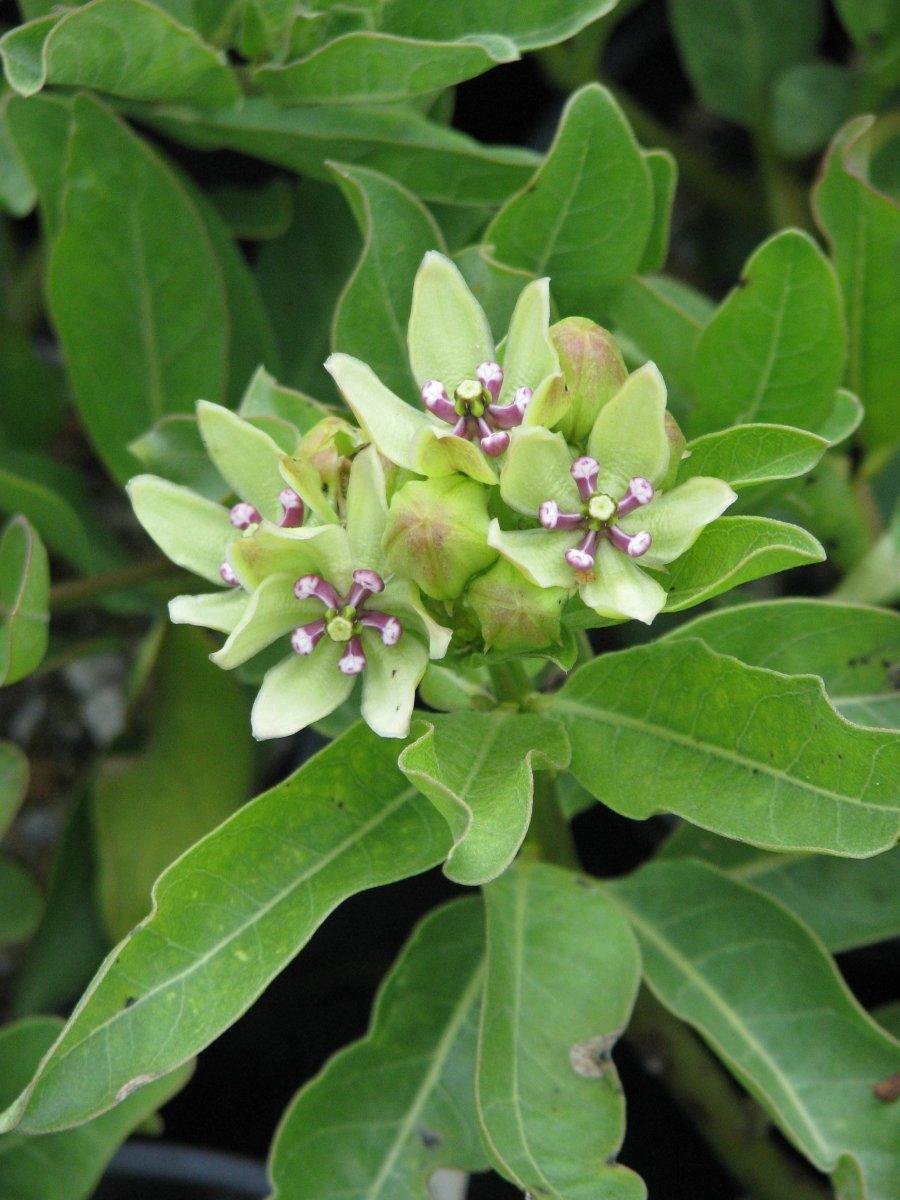 Spider Milkweed (Asclepias viridis)