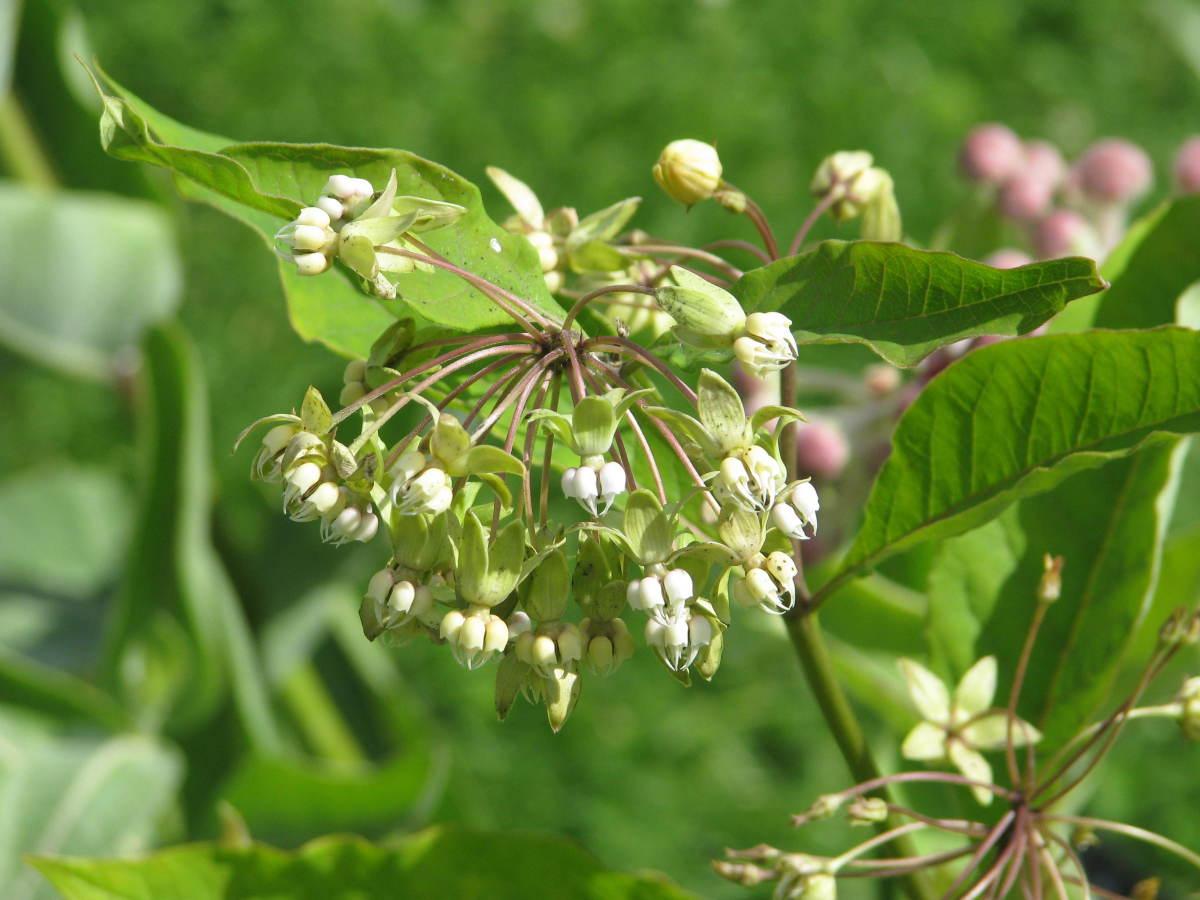 Poke Milkweed (Asclepias exaltata)