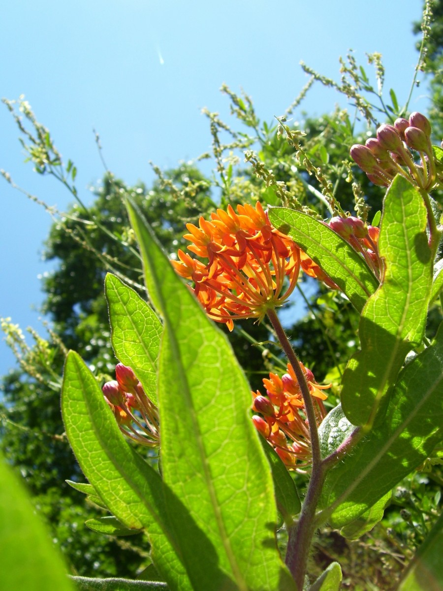 Butterfly Weed (Asclepias tuberosa L.)