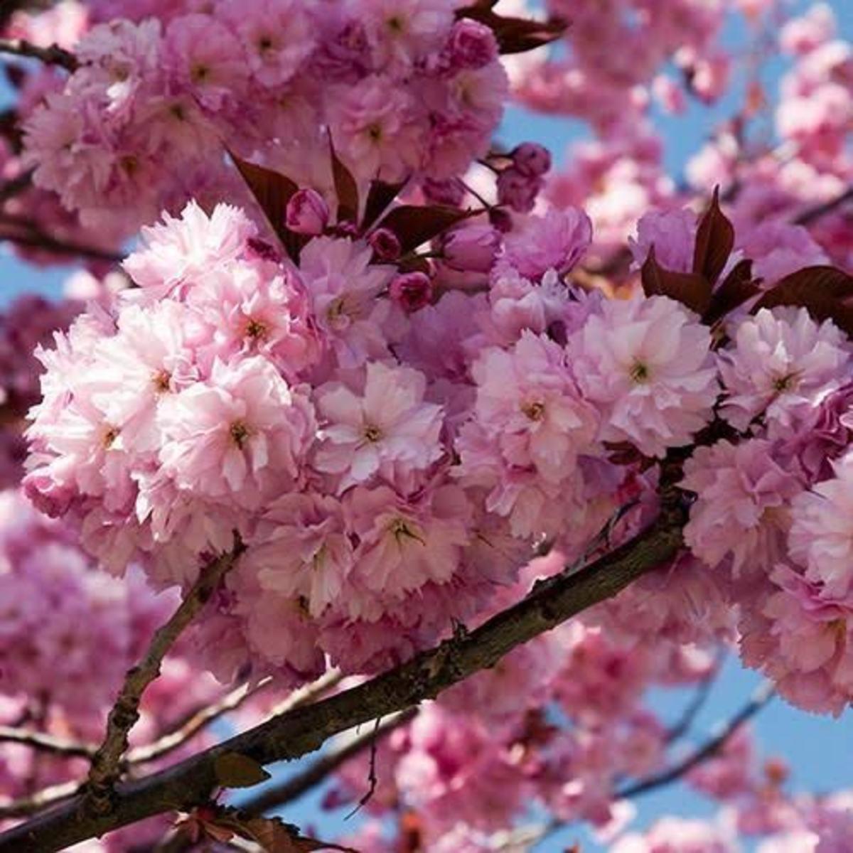 Ornamental Cherries