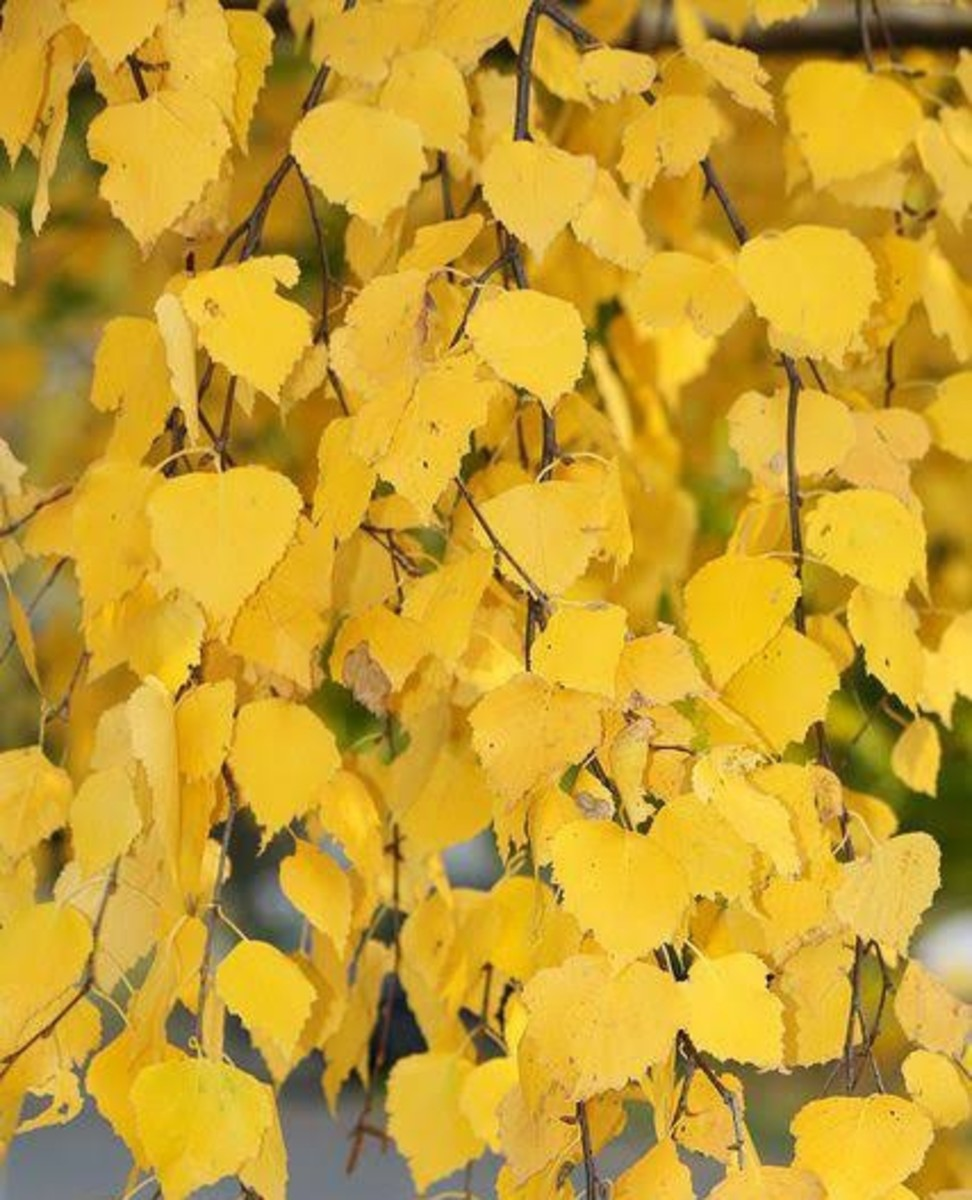 Yellow Silver Birch Leaves In Autumn