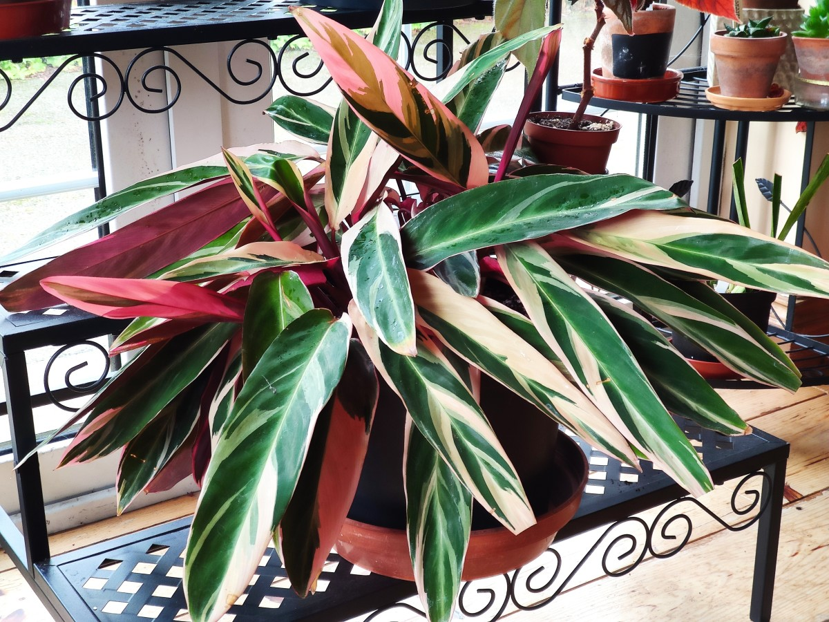 Stromanthe sanguinea 'Triostar' is a gorgeous houseplant that is also called the prayer plant.