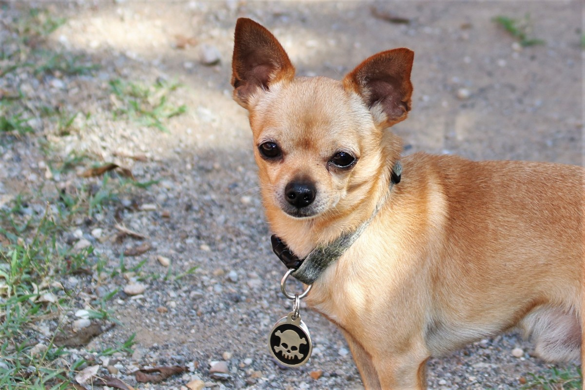 Chihuahuas are loyal and devoted but may bark and snap at people they don't know well.