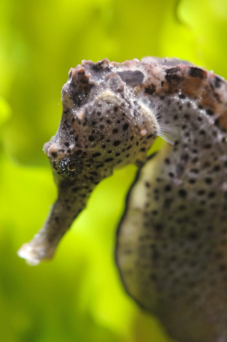 seahorse-pictures