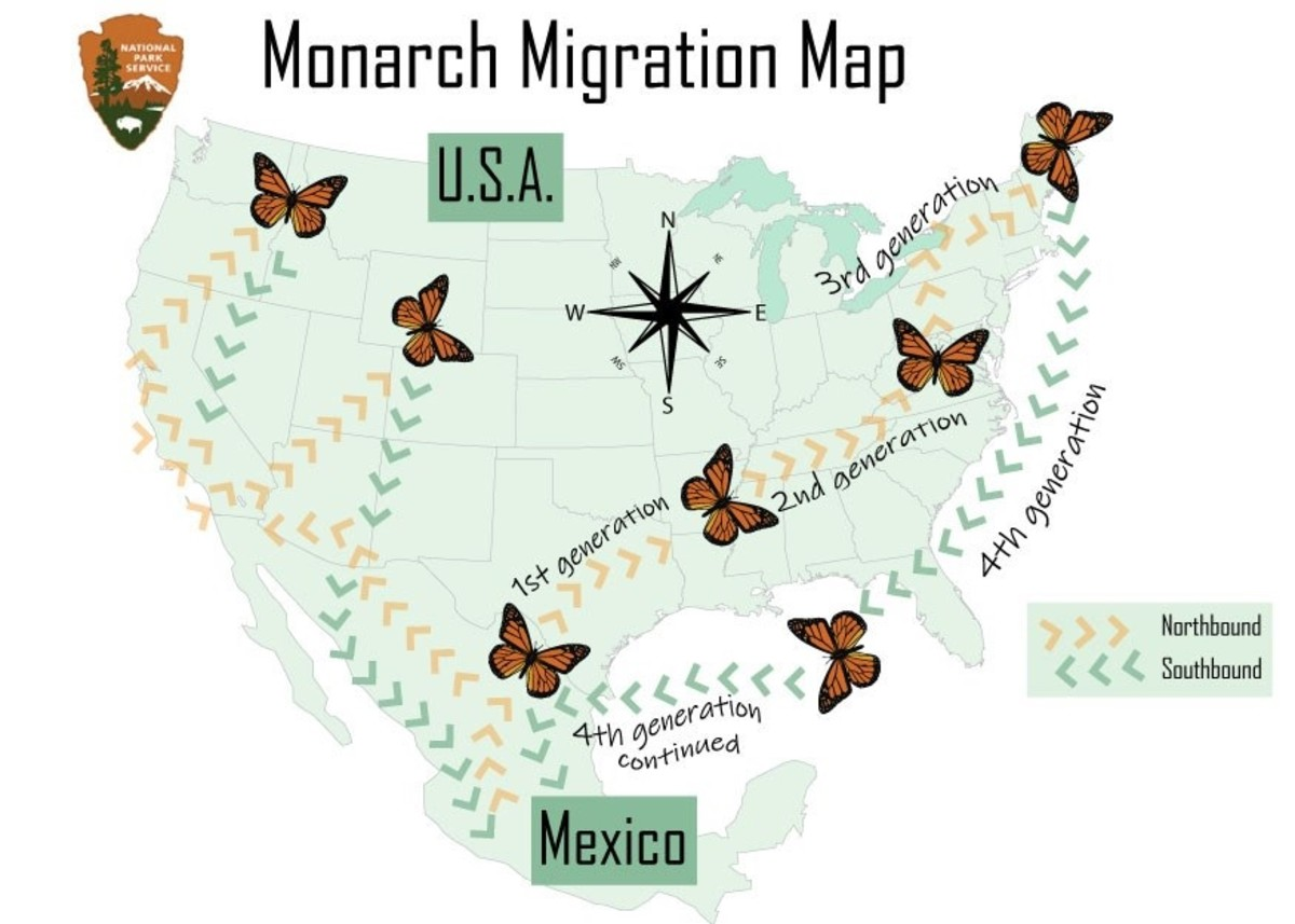 Monarch migration map showing yearly monarch butterfly movement by generation. It takes four generations of monarch butterflies to make the complete journey each year, which is why it is so important to plant milkweed along migration paths.