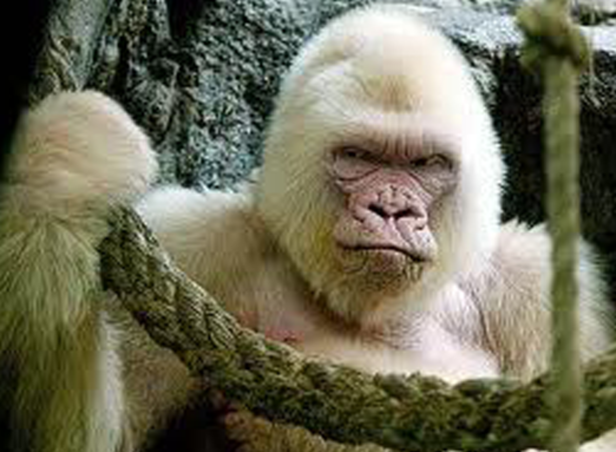 Normally black or dark grey this Gorilla does not seem amused by his lack of pigmentation.