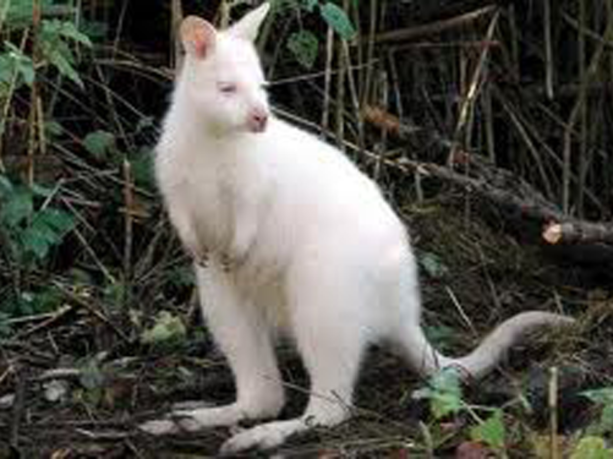 An albino Kangaroo what will Mother Earth think of next?
