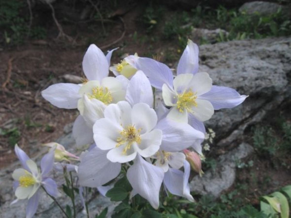 Columbine grows in profusion along the Mirror Lake trail.