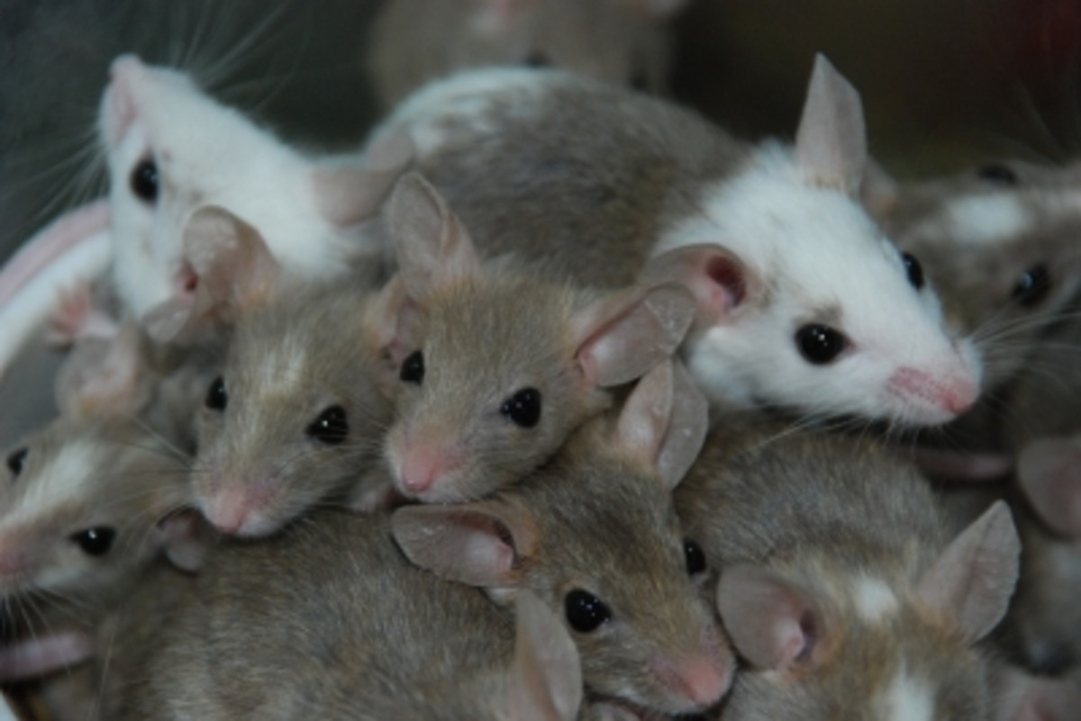 They may be cute pets in a cage, but if they get away, they are rodents infesting an apartment