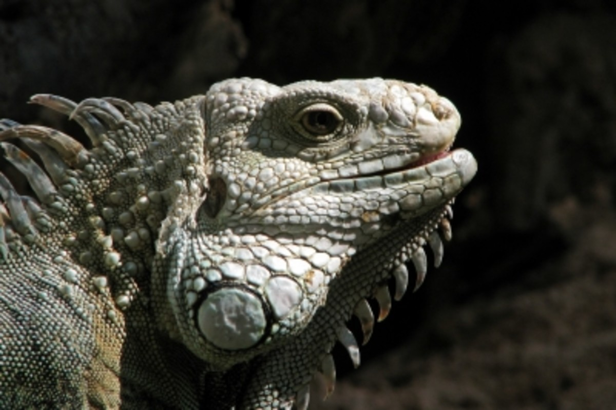 """Is the pet kept in a cage, or is it a """"free-range"""" iguana?"""
