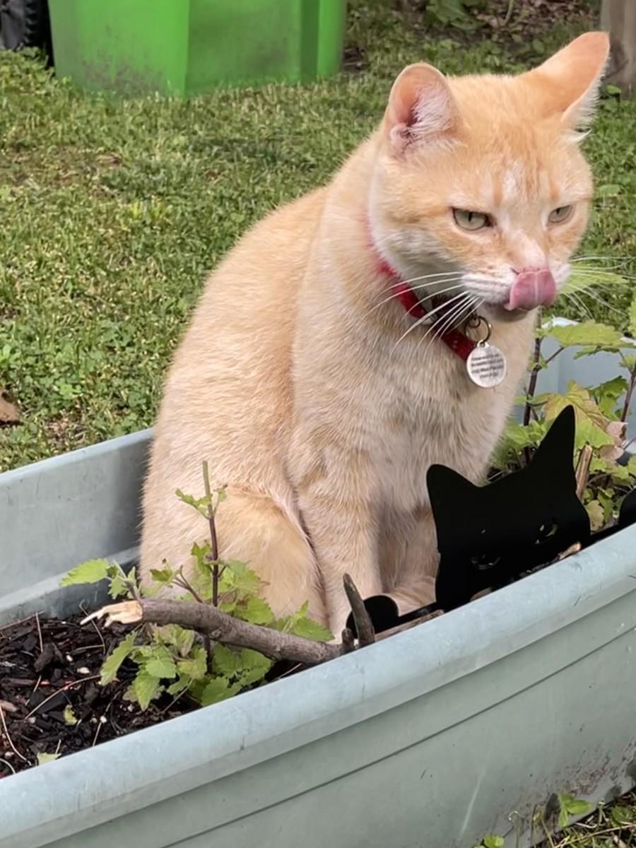 My neighbor's cat, Dusty, enjoying my catnip container.