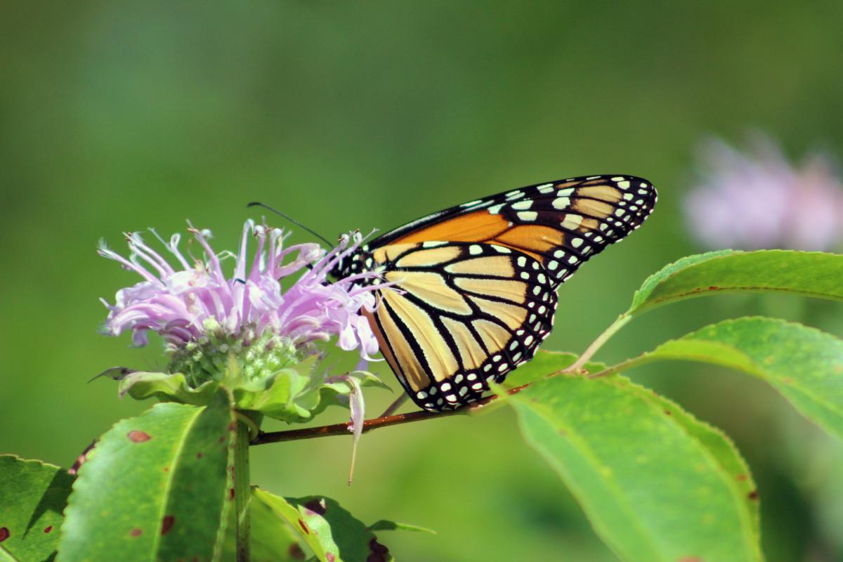 Monarch Butterfly on Wild Bergamot