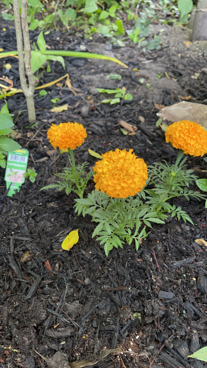 Marigolds in my garden, before they got eaten by raccoons (or maybe squirrels). They may repel mosquitoes, but they don't work on mammals.