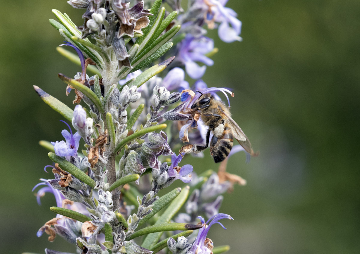 A honeybee (Apis mellifera) collecting nectar on the flowers of a rosemary plant (Rosmarinus officinalis).