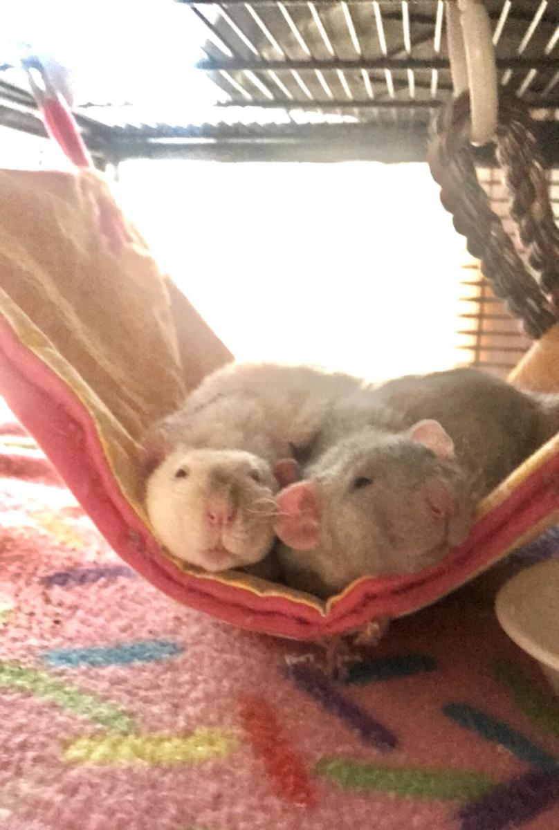 Rats love to cuddle with their cage mates.