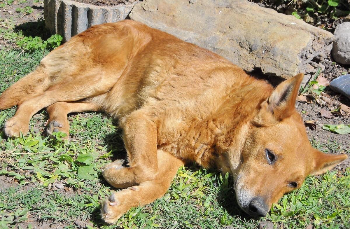 Dogs suffering meningitis exhibit generalised pain and are lethargic