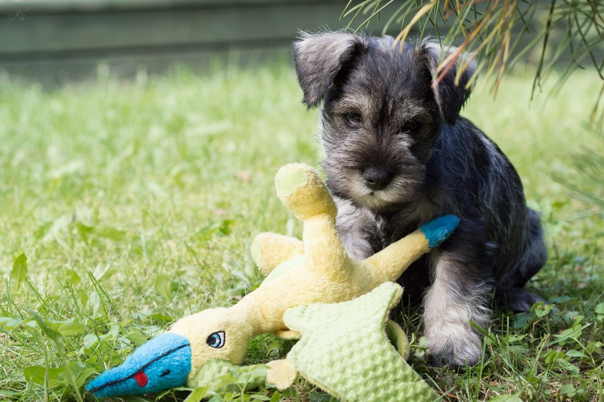 Miniature Schnauzers are highly trainable.