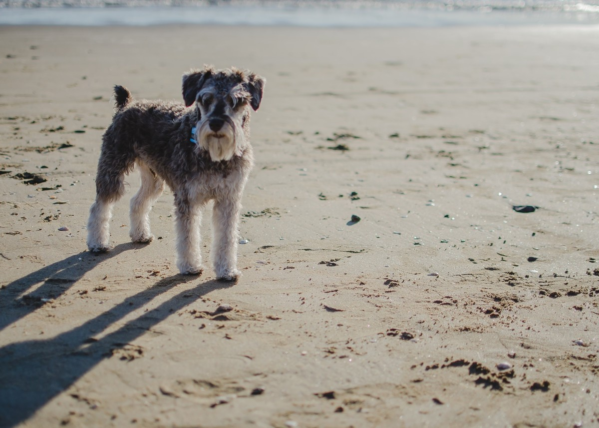 Miniature Schnauzers love to spend time with their humans.