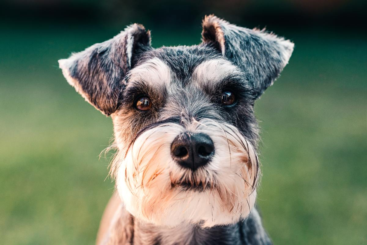125-charming-names-for-miniature-schnauzers