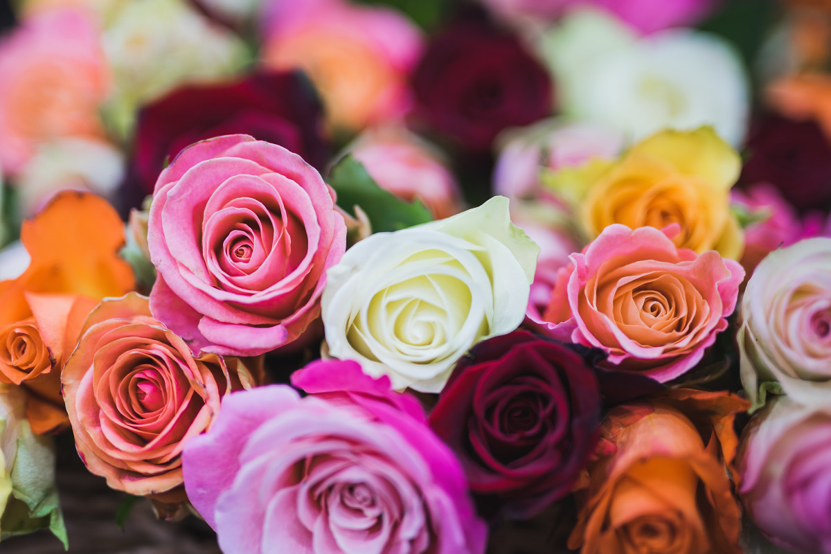 Roses come in all types of colors