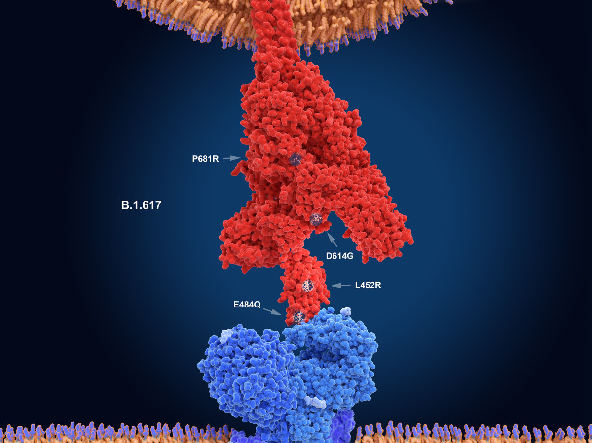 The numerals in this illustration show the main mutation sites of the delta variant of the coronavirus, which is likely the most contagious version. Here, the virus's spike protein (red) binds to a receptor on a human cell (blue).