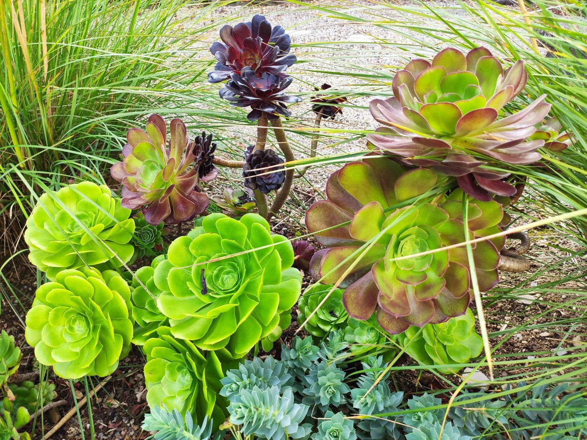 Aeoniums may look exotic, but they're very easy to propagate.