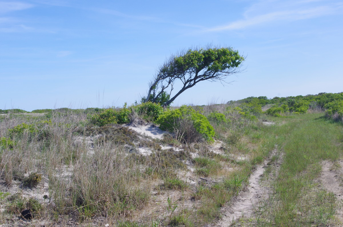 An example of flagging. When strong ocean winds push against trees near the beach they are pruned in this weird natural way.