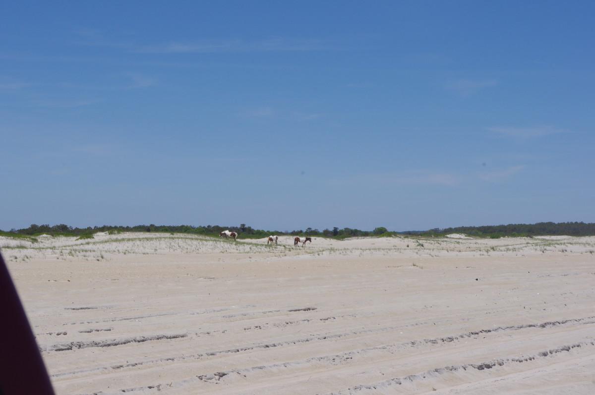 A herd  of ponies among the beach's dunes.